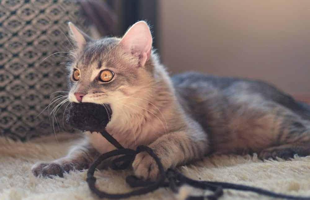Kedilerde Aşırı Çiğneme Tedavisi