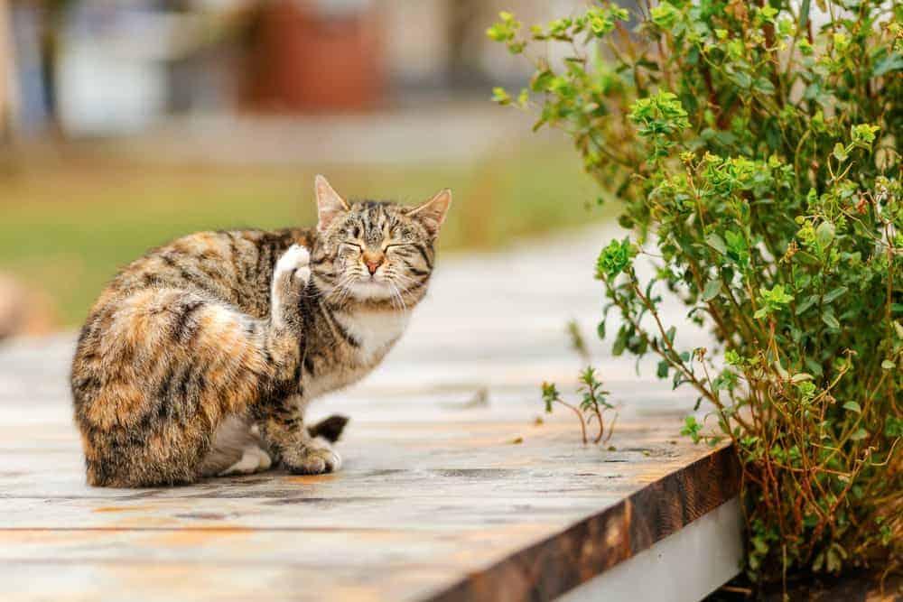 Kendini Kaşıyan Kedi