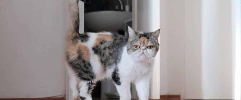 Kedilerde kızgınlık dönemi ile ilgili bütün detaylar