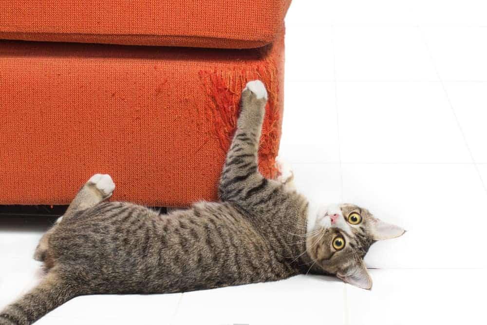 Koltuk Tırmalayan Kedi