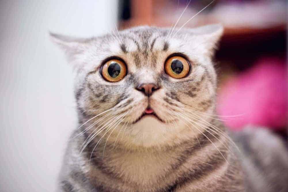 Korkmuş Kedi