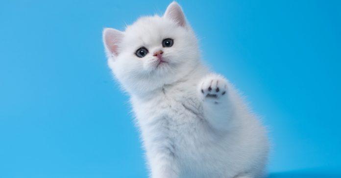 küçük kedi