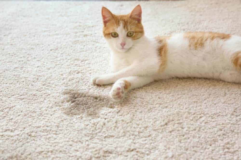 Kum kabı dışına idrar bırakan kedi