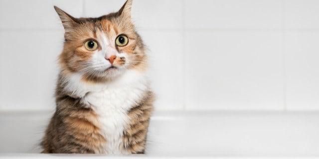 Kedinizin küvete kaka yapmasını nasıl engellersiniz?