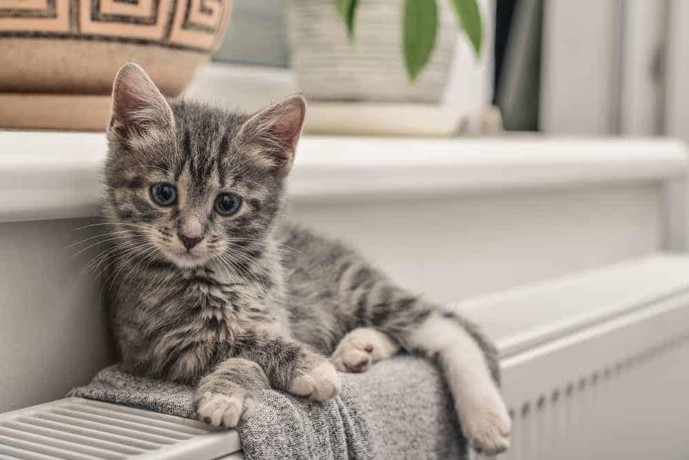 oturan gri yavru kedi