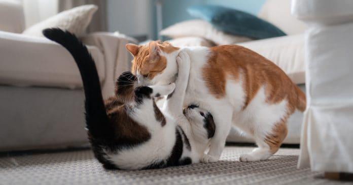 Oynayan Kediler