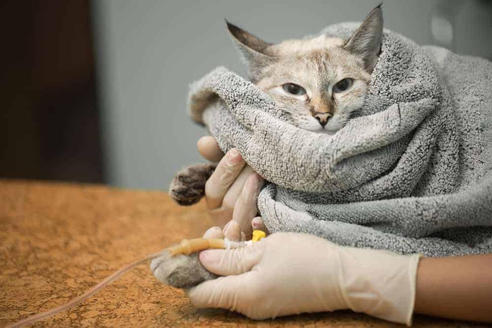 serum tedavisi alan kedi