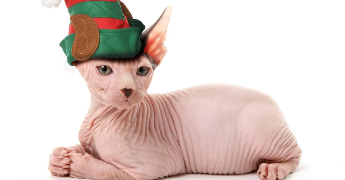 Sfenks tüysüz kedi