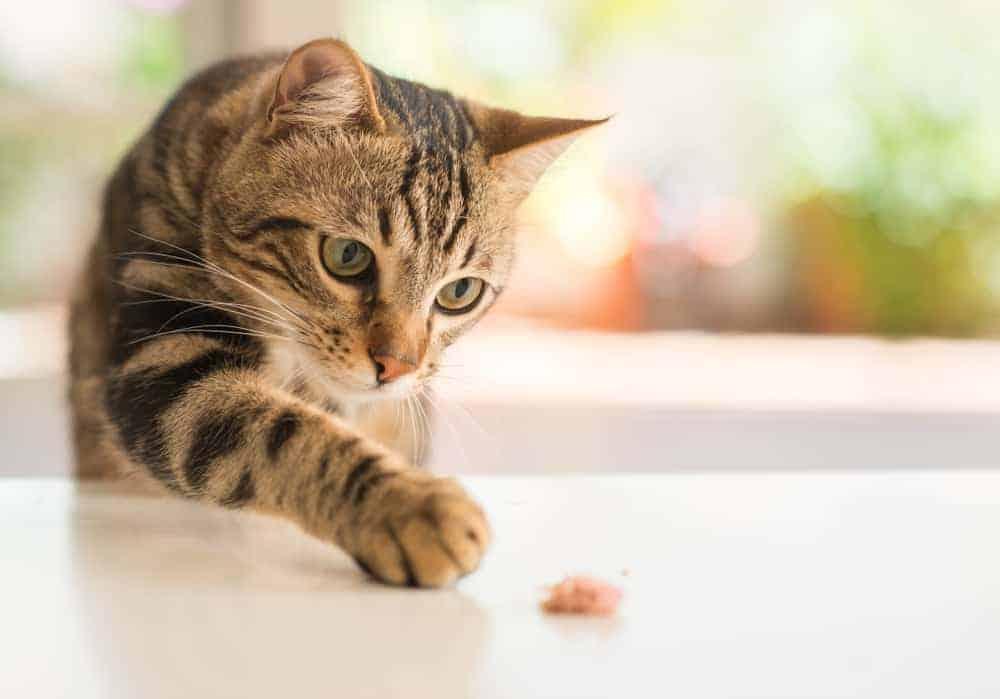 kedilerde kilo kaybının nedenleri