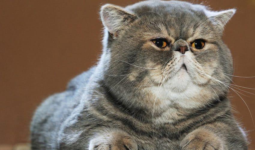 Şişman bir kediye nasıl bakarsınız?