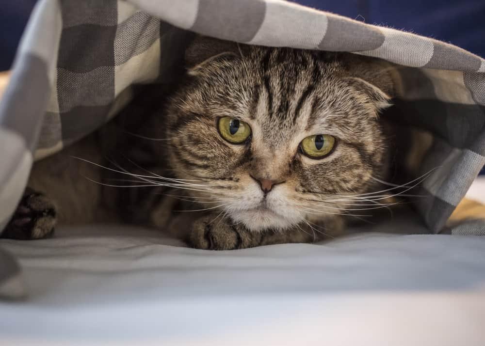 Stresli Kedi