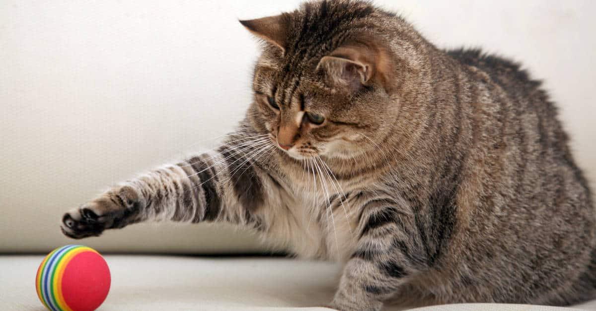 topla oynayan kedi
