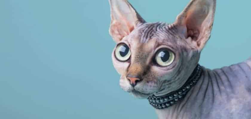 Tüysüz kedilerin bakımı