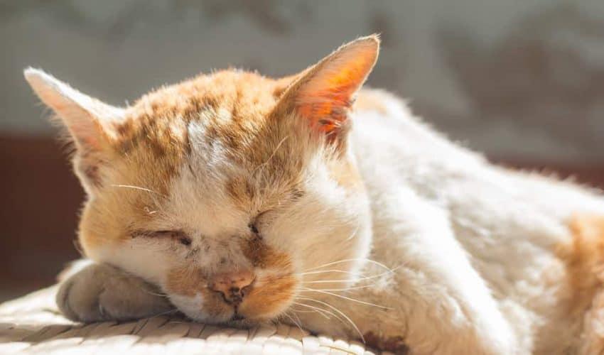 Kedilerde osteoartrit nedir? Nedenleri ve belirtileri nelerdir?
