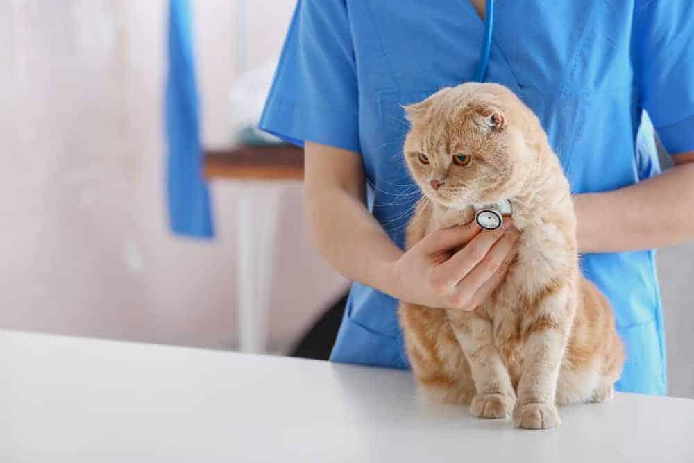 Veterinerde Muayene Olan Kedi