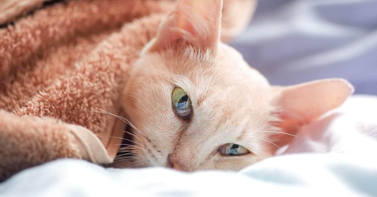 Yatakta Hasta Kedi