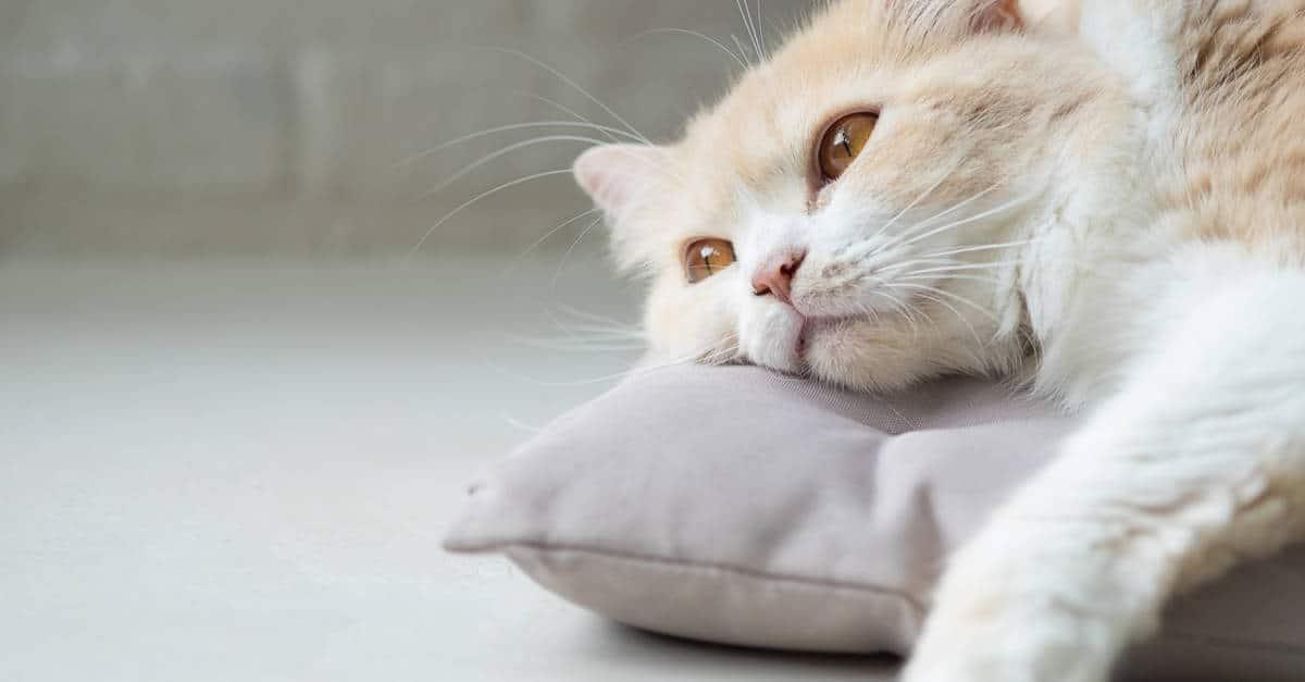 yatakta yatan sıkılmış kedi