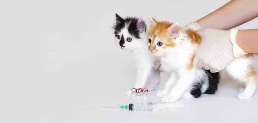 yavru kedilere hangi aşılar yapılır