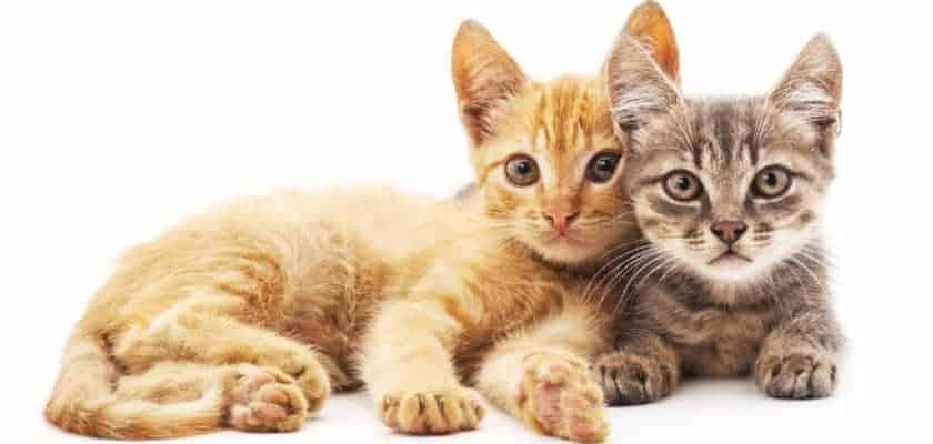 yavru kedi gelişimi