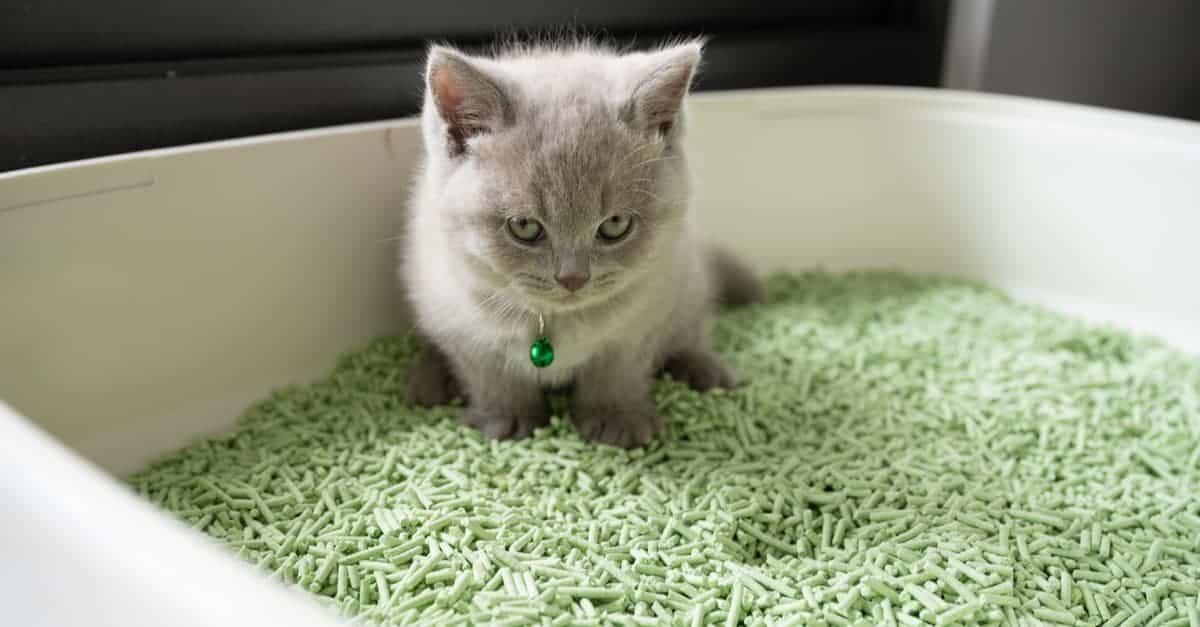 Yavru kedi tuvalet eğitimi