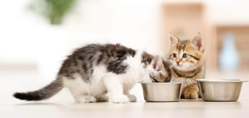 Yavru kediler nasıl beslenir