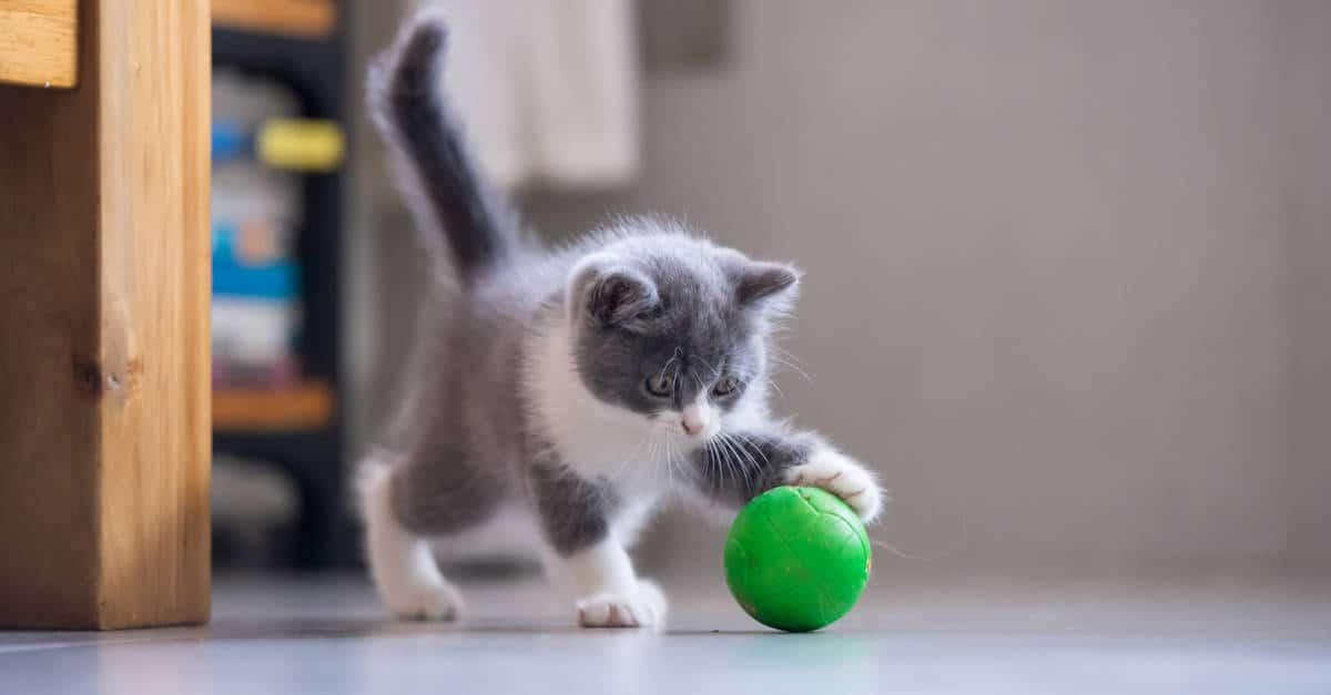 yavru kediler ve oyun