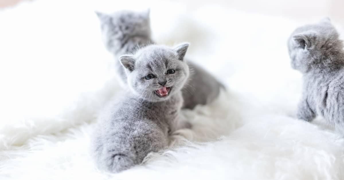 Yavru kedilerin fiziksel gelişimi