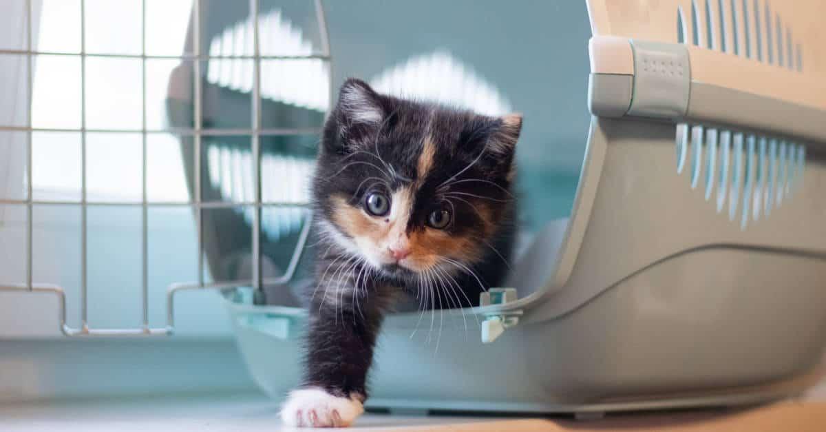 yavru kedi taşıma çantası