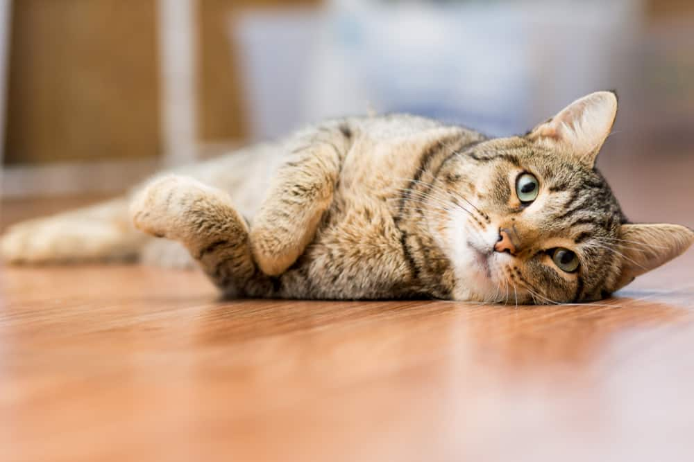 Yetişkin Kedilerin Sosyalleşememe Nedenleri