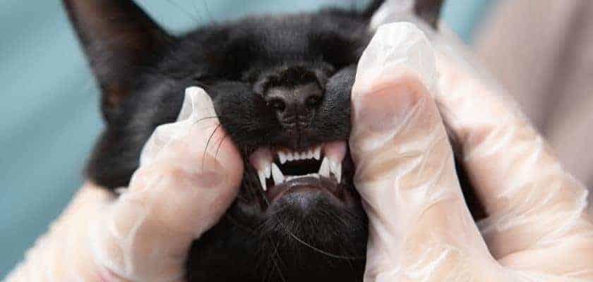 ağız muayenesi olan kedi