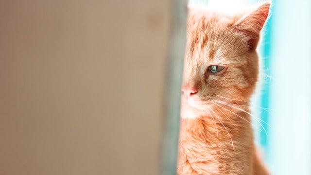 ağlayan sarı kedi
