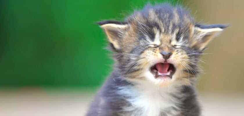 ağlayan yavru kedi