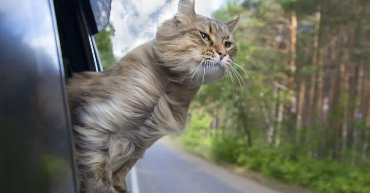 Arabayla seyahat eden kedi