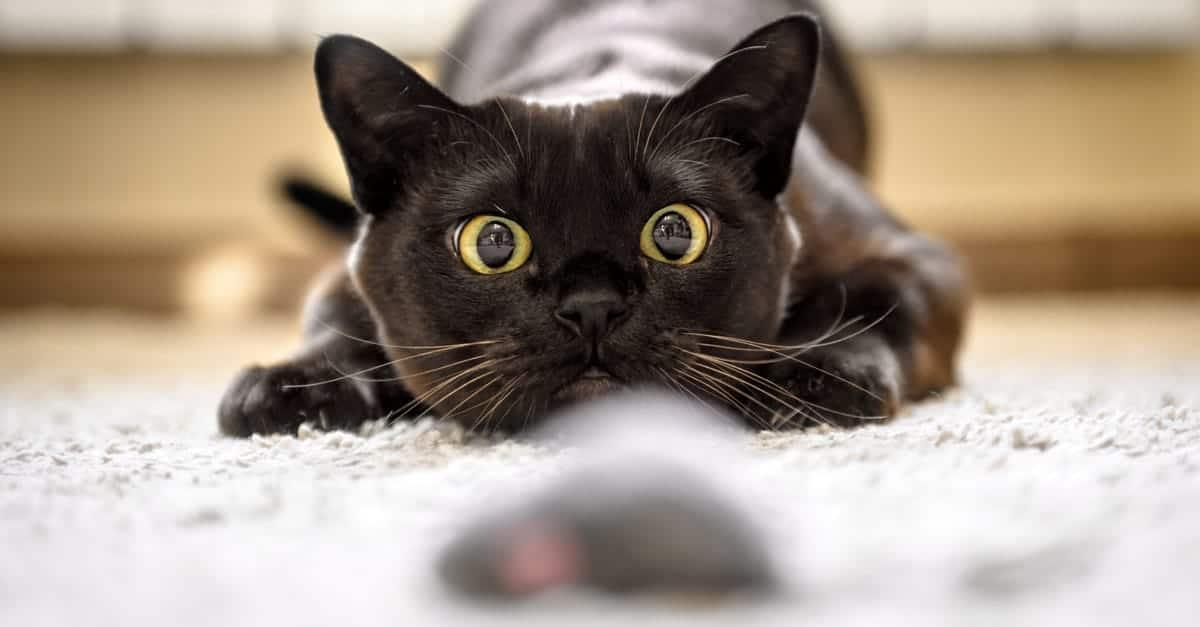 Bir nesneye bakan kedi