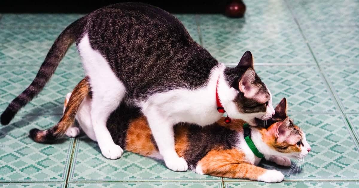 Çiftleşen kediler