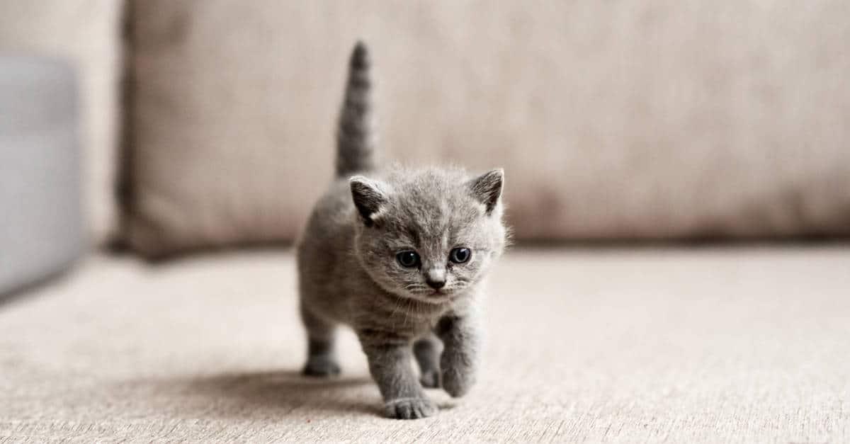 gri yavru kedi