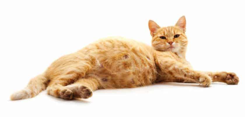 hamile sarı kedi