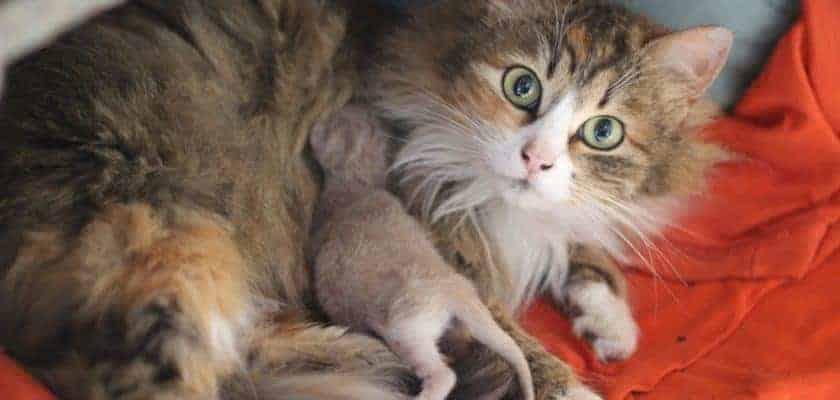 Hamile ve Yeni Doğum Yapmış Kedilerde Saldırganlık
