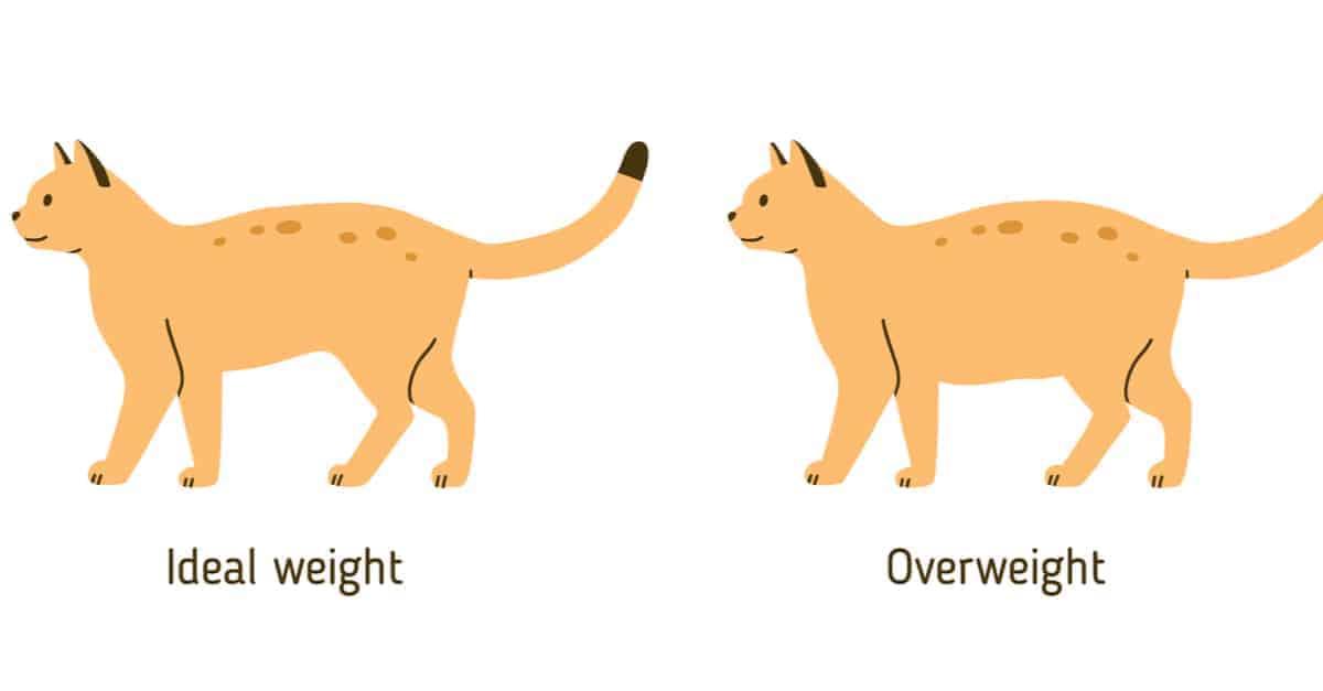 ideal kilodaki kedi ve kilolu kedi