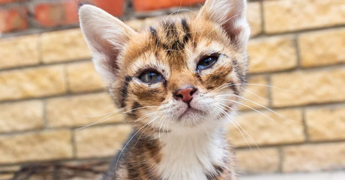 Katarakt olan yavru kedi