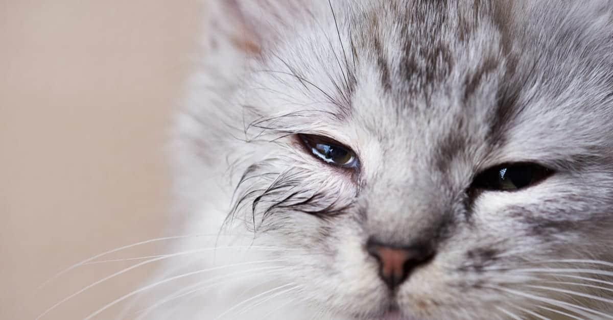 Kedi göz akıntısı