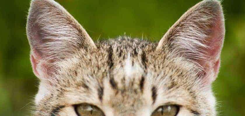 kedi kulakları
