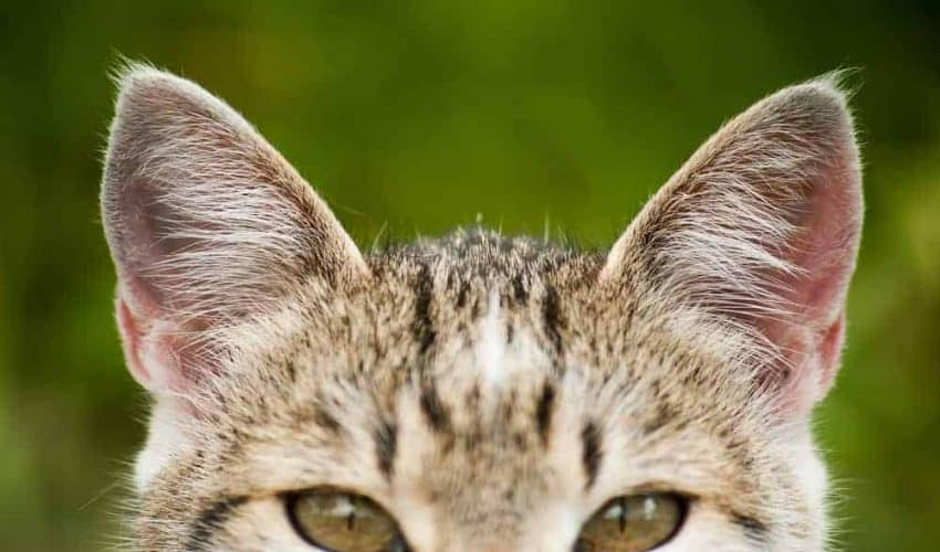 Sağır kedilerle yaşamanın ipuçları: İletişim ve bakım