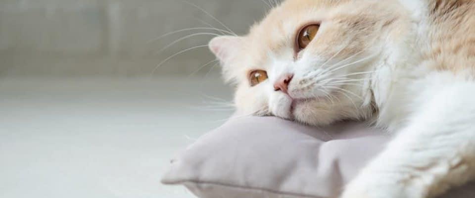 Kediler neden mutsuz olur? Kedim üzgün mü?