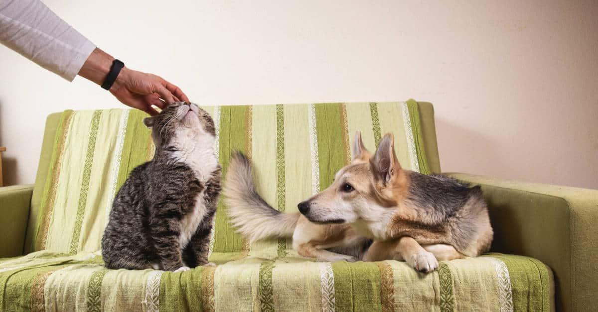 Kedilerde kıskançlık