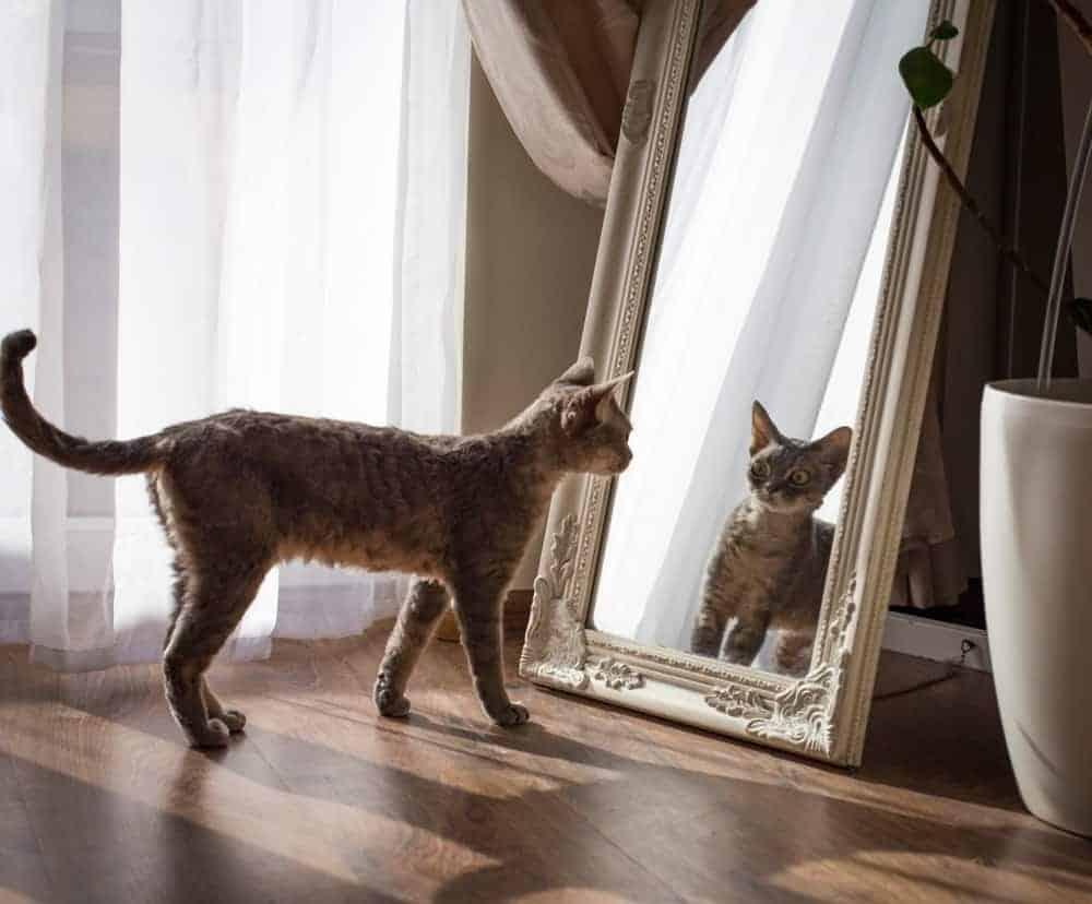 Kedileri Ayna Yansımalarına Karşı Eğitmek