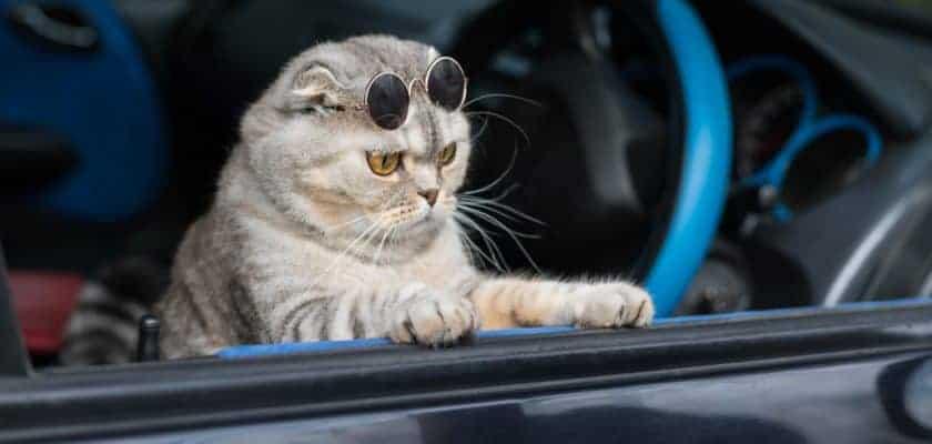 Kedilerle araba yolculuğu
