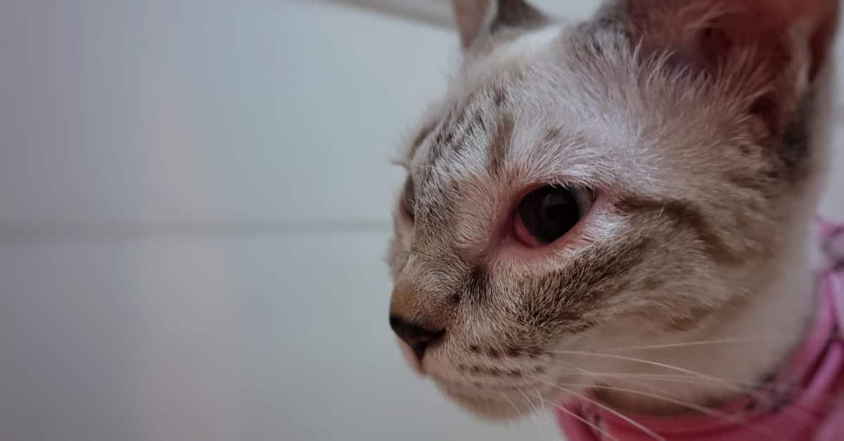 Kızarık gözlü kedi