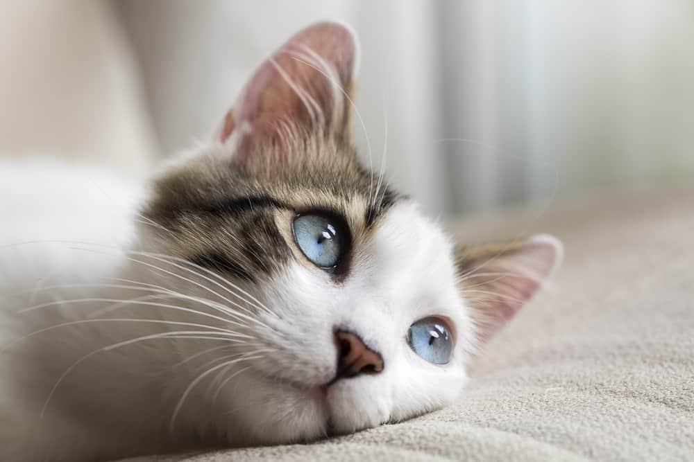 mavi gözlü kedi