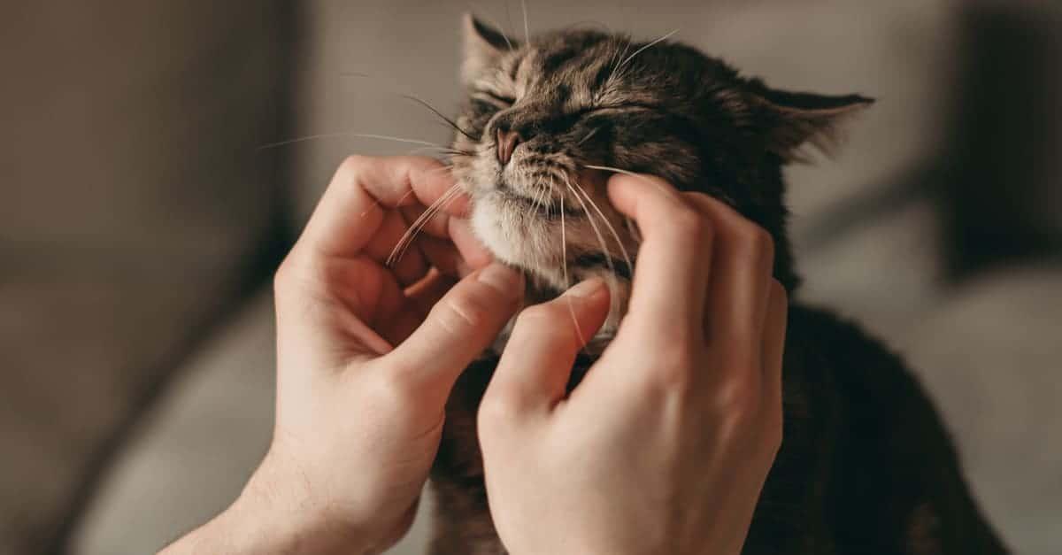 Okşanan kedi